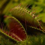 食虫植物ハエトリソウ(ハエトリグサ)の奇妙な生態と罠の仕組み