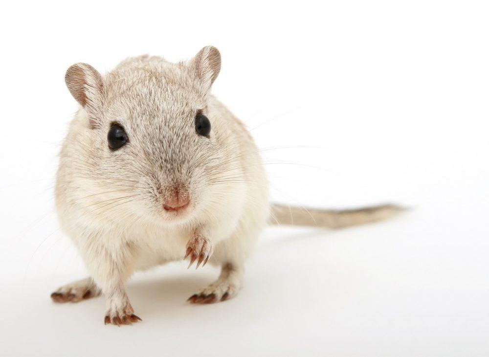 ハムスターはネズミ