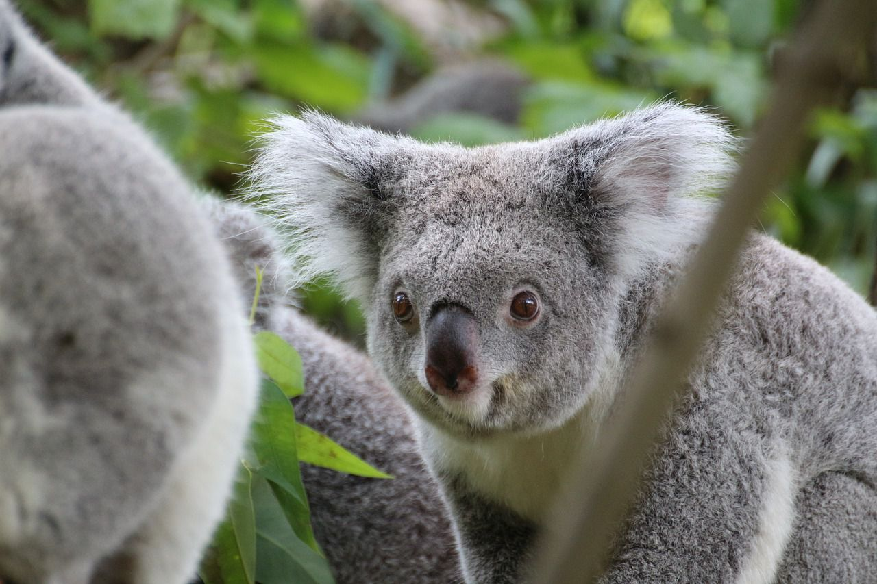 かわいい表情色々コアラの画像まとめ