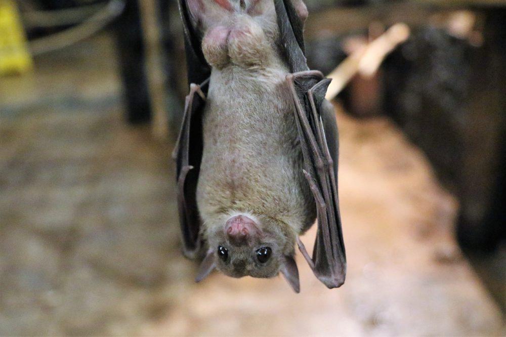 【コウモリ】空飛ぶ唯一の哺乳類!コウモリの種類と生態の不思議