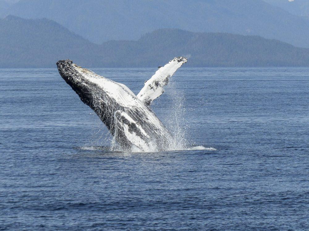 【クジラ】不思議な生態とクジラの種類!イルカとの違いは○○だけ!
