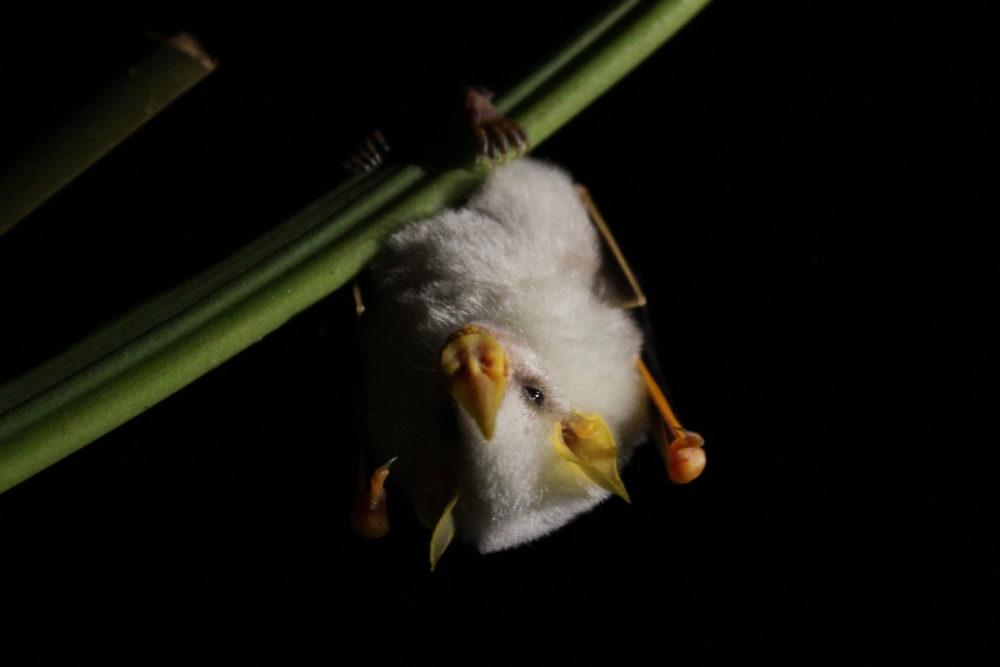 白くてフワフワ!シロヘラコウモリが可愛すぎる!