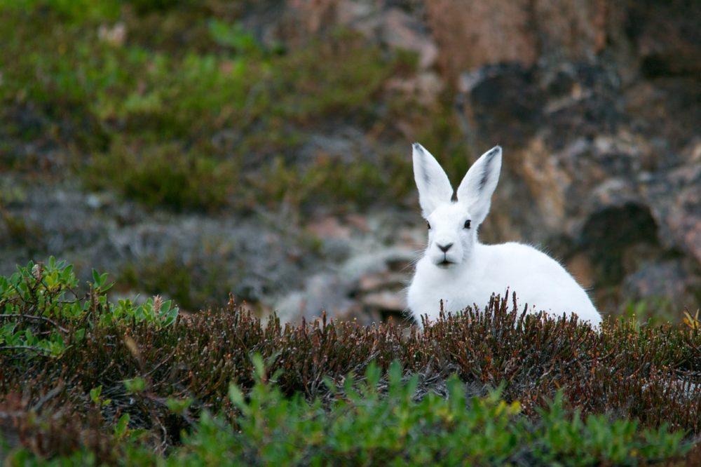 コレジャナイ感!ホッキョクウサギの足が長すぎてスゴイ違和感