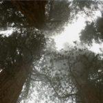 【ハイペリオン】高さ115m!世界一高いセコイアの木はどこにある?