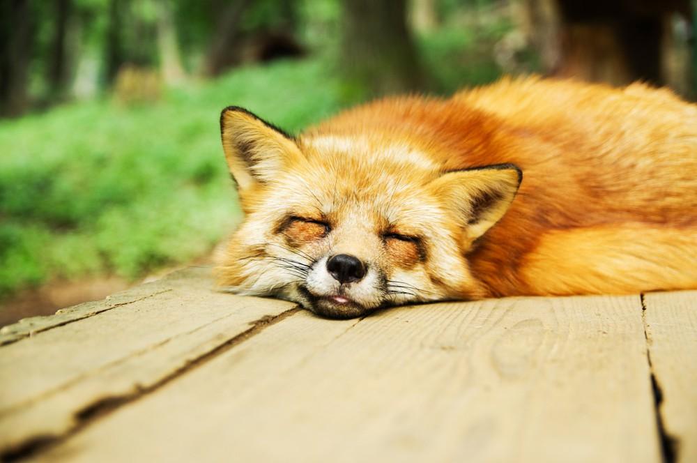 ぐったり爆睡するかわいいキツネ