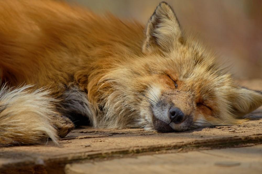 すごく気持ちよさそうに眠るキツネがかわいい