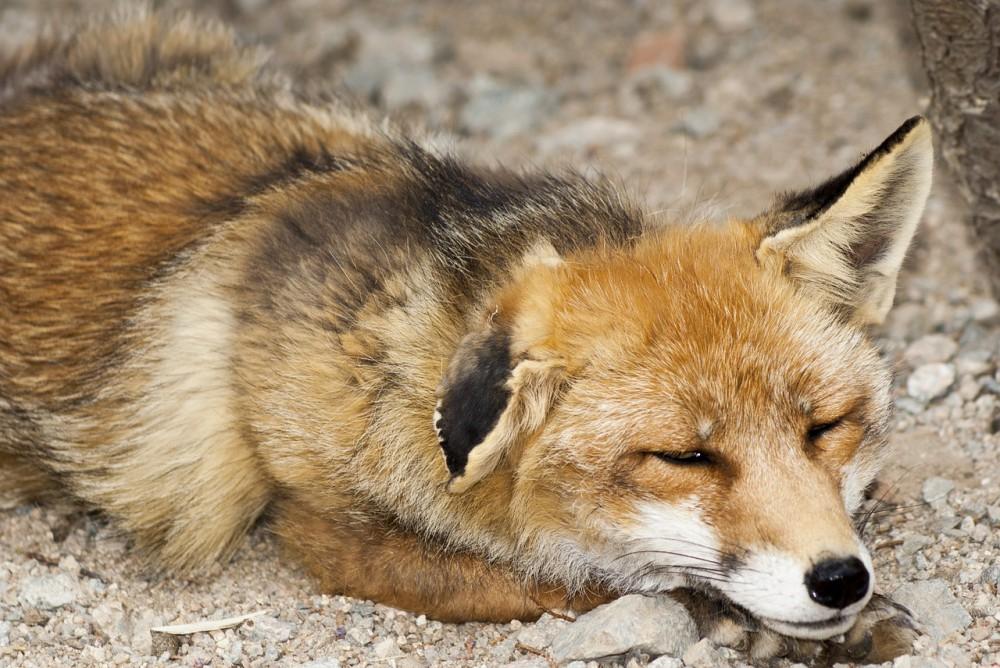 とっても眠そうにしているキツネがかわいい