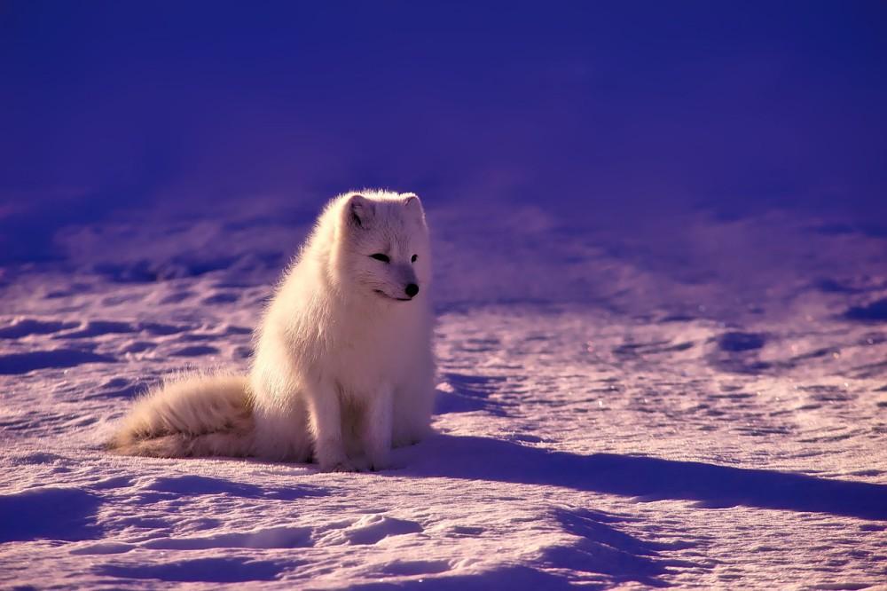 雪のように真っ白なかわいいキツネ