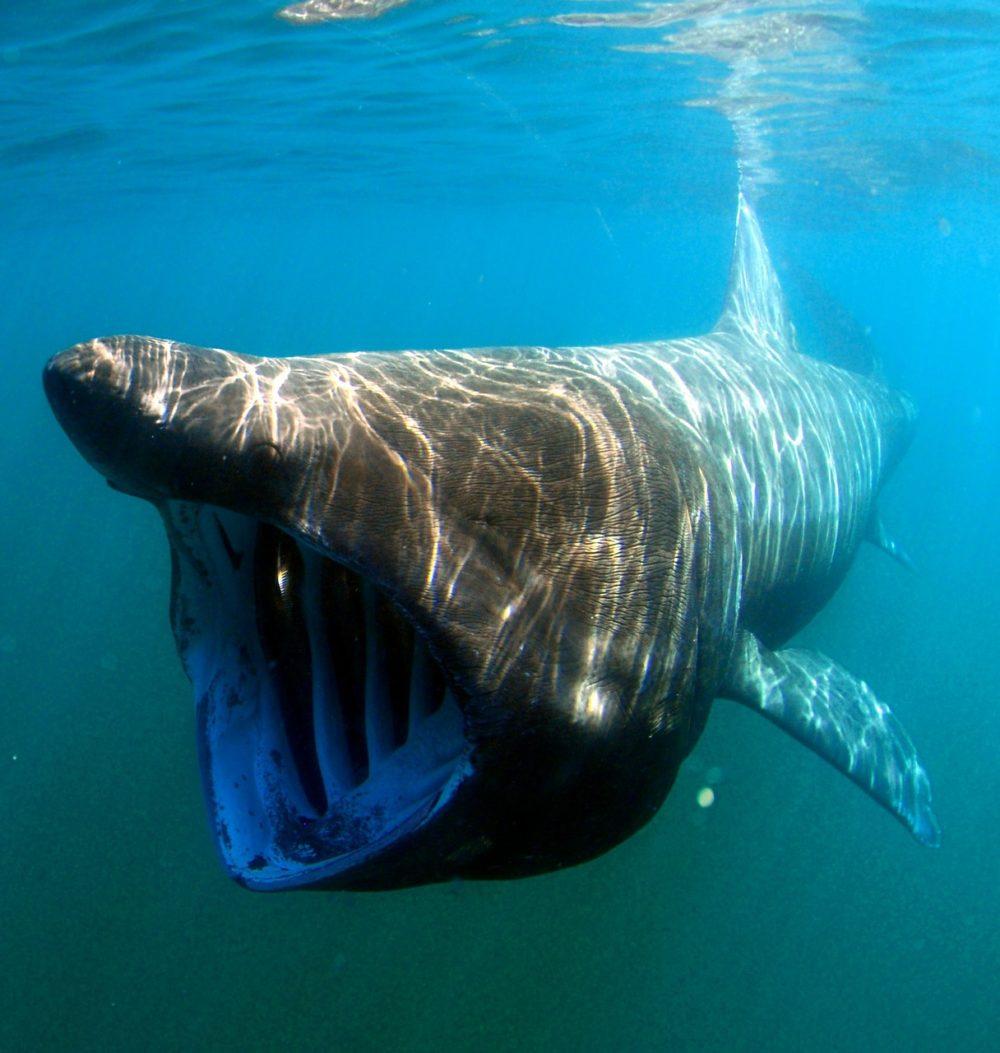 サメの種類全32種の画像まとめ!危険・巨大・深海・変なサメ