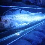 【リュウグウノツカイ】人魚のモデル?奇怪な深海魚の特徴と謎の生態!