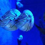 【オウムガイ】アンモナイトの子孫?生きた化石の不思議な生態