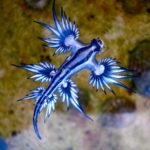 【アオミノウミウシ】毒々しい!クラゲを食べるウミウシの異様な生態の真実