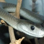 【ブラックマンバ】世界最強の毒ヘビの生態と天敵!猛毒の危険性は?