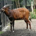 【世界四大珍獣ボンゴ】どんな動物?第四の珍獣の知られざる生態!