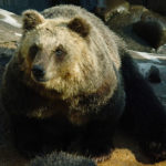 【熊の種類一覧】かわいい?怖い?危険?日本~世界の12のクマたち!