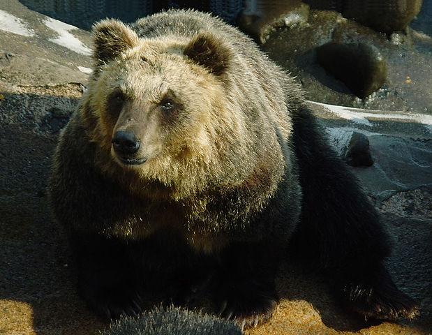 【熊の種類一覧】日本~世界のクマ10種!危険・巨大・かわいい熊!