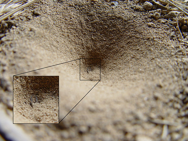 【アリジゴク】どんな昆虫?実は毒持ち蟻地獄!巣と捕食方法の不思議!