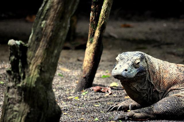 【コモドドラゴン】毒に単為生殖!人食いオオトカゲがハイスペックすぎる