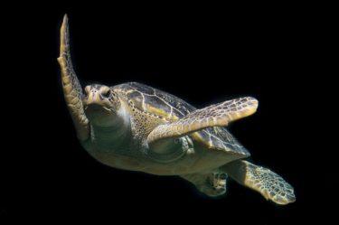 【ウミガメの種類一覧】画像で見る日本~世界の海亀11種