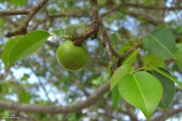 【マンチニールの木】死亡事故も!死のリンゴの最悪の毒性と症状!